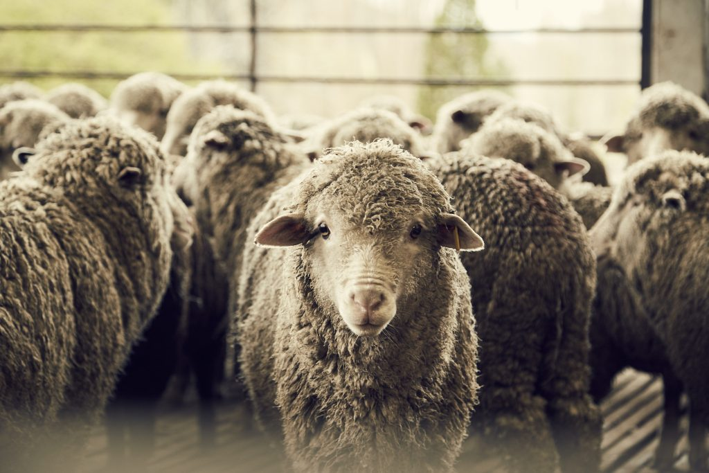 jak-pozyskuje-sie-welne-dormeuil-tonik-wool2